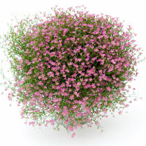 Gypsophila Plants - Gypsy Pink