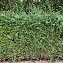 Crataegus monogyna (Hawthorn) Plants - 2L Value Hedging Range