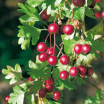 Crataegus monogyna (Hawthorn) Plant - 2L Value Hedging Range