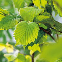 Corylus avelana (Hazel) Plants - 2L Value Hedging Range