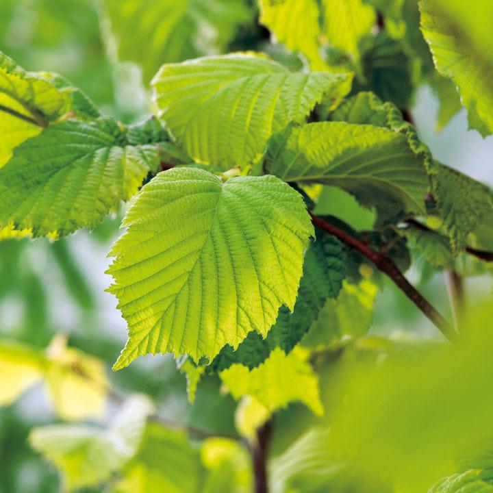Corylus avelana (Hazel) Plant - 2L Value Hedging Range