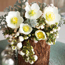 Image of Christmas Rose Plant