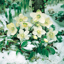 Christmas Rose Plant