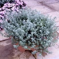 Helichrysum petiolare Plants - Silver