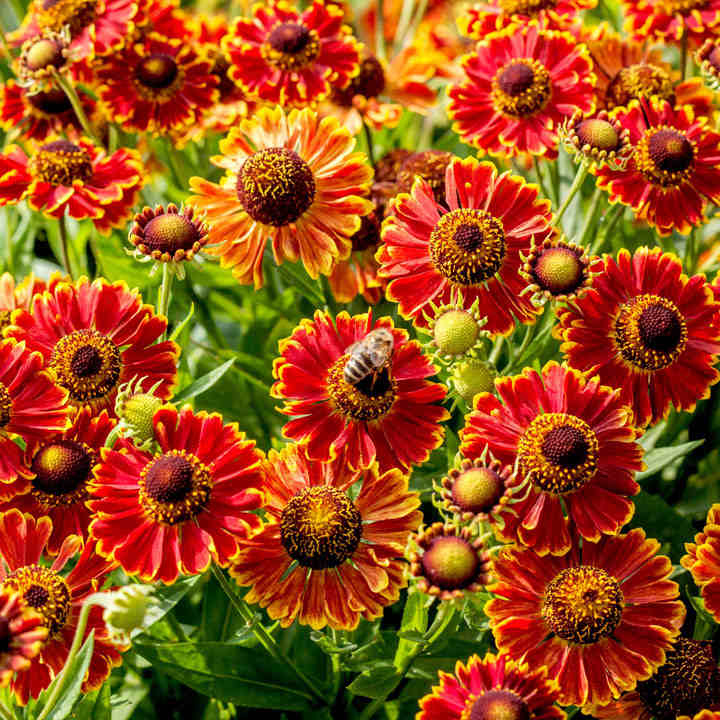 Helenium Plant - Bandera