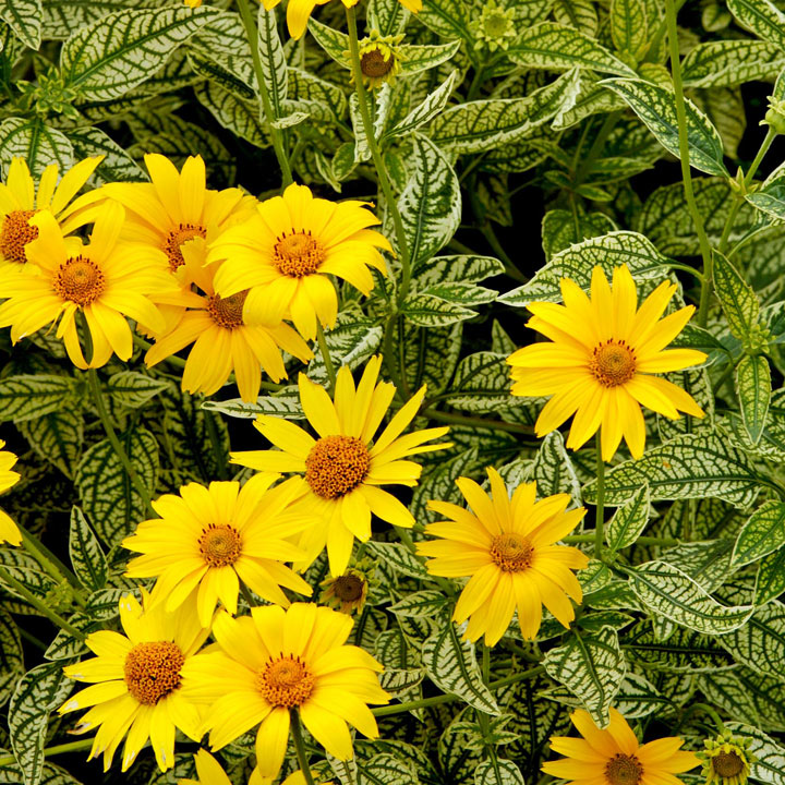 Heliopsis Potted Plant - Sunburst
