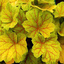 Heuchera Plants - Electra