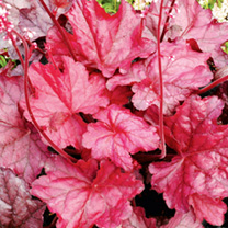 Heuchera Plant - Fire Chief