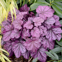 Heuchera Plants - Wild Rose