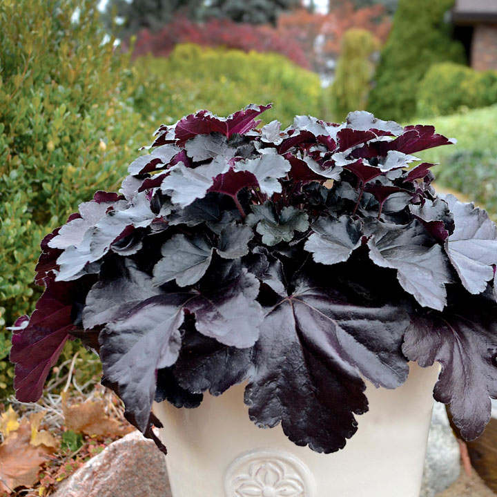 Heuchera Plant - Black Pearl