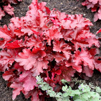 Heuchera Plant - Forever Red