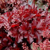 Heuchera Plants - Forever Red