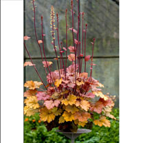 Heuchera Plant - World Caffe Americano