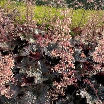 Heuchera Plant - Palace Purple