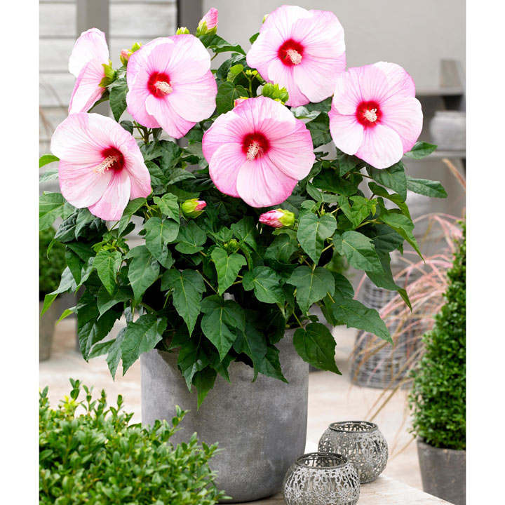 Hibiscus Extreme Cloudy Pink All Flower Plants Flower Plants