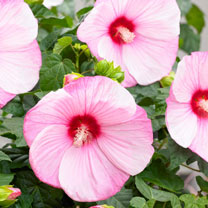 Hibiscus Extreme Plant - Cloudy Pink