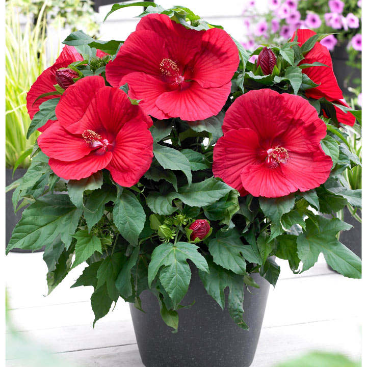 Hibiscus Extreme Plant - Oak Red