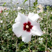 Hibiscus syr. Plant - Shintaeyang