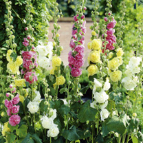Hollyhock Seeds - Chater's Double Mixed