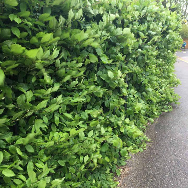 Carpinus betulus (Hornbeam) Plant - 2L Value Hedging Range