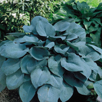 Hosta Plant - Fragrant Blue