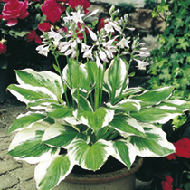 Hosta Plant - Patriot