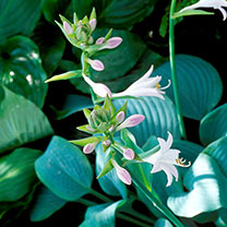 Hosta Plants - Fragrant Blue