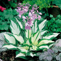 Hosta Plant - Fire and Ice