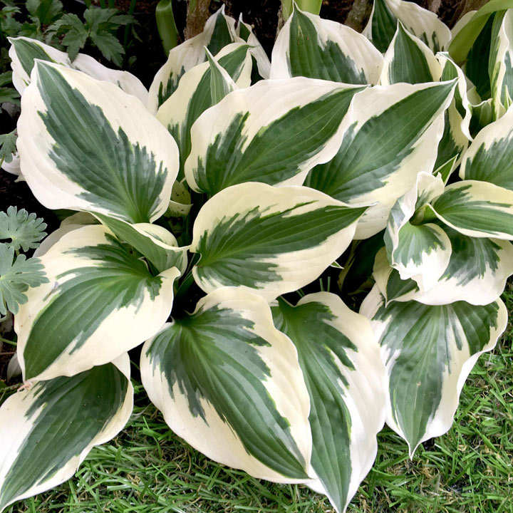 Hosta Plant Patriot All Perennial Plants Perennial Plants
