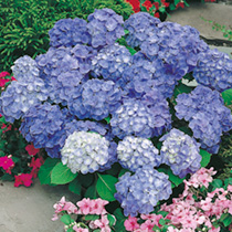 Well known for their large heads of flowers which cover the plants during the summer and make an amazing show. The flowers can be blue or pink dependi