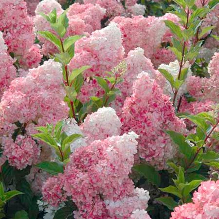 Hydrangea pan. Plant - Vanille-Fraise®