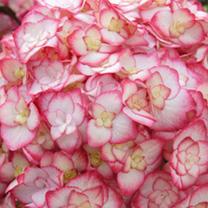 Hydrangea macrophylla Plant - Miss Saori