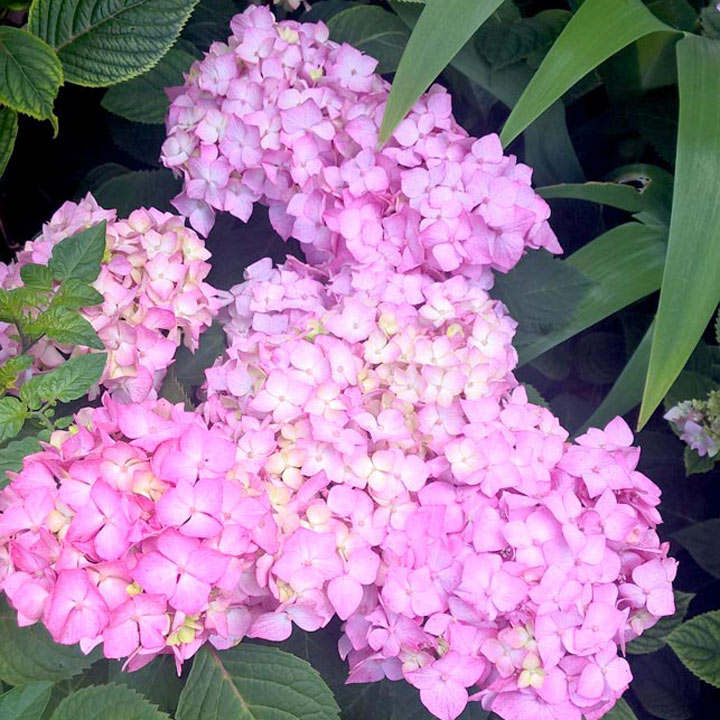 Hydrangea Plant - Endless Summer Bloomstar