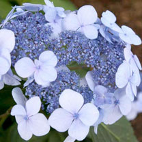 Hydrangea Plant - Endless Summer Twist 'N' Shout