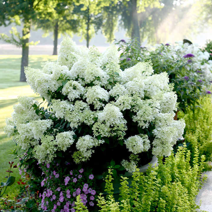 hydrangea paniculata plant bobo trees and shrubs. Black Bedroom Furniture Sets. Home Design Ideas