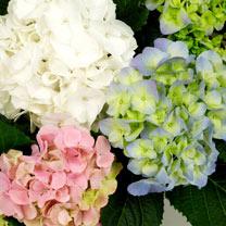 Hydrangea Plant - Trio Mix 3 Litre