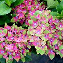 Hydrangea macrophylla Plant - Schloss Wackerbath