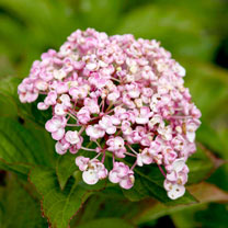 Hydrangea m. Plant - Ayesha