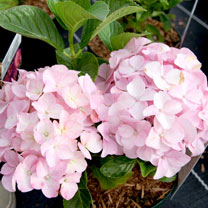 Hydrangea m. Plant - Belle Seduction