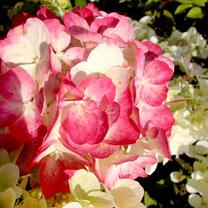Hydrangea pan. Plant - Diamant Rouge®