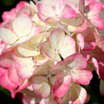 Hydrangea pan. Plant - Diamant Rouge
