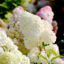 Hydrangea pan. Plant - Diamantino