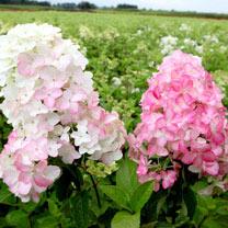 Hydrangea pan. Plant - Fraise Melba