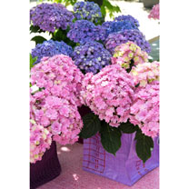 Hydrangea m. Plant - (You and Me) 'Together'