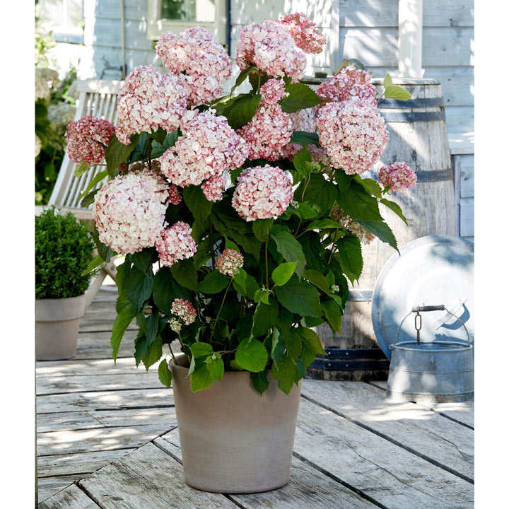 Hydrangea arb. Plant - Candybelle® Bubblegum
