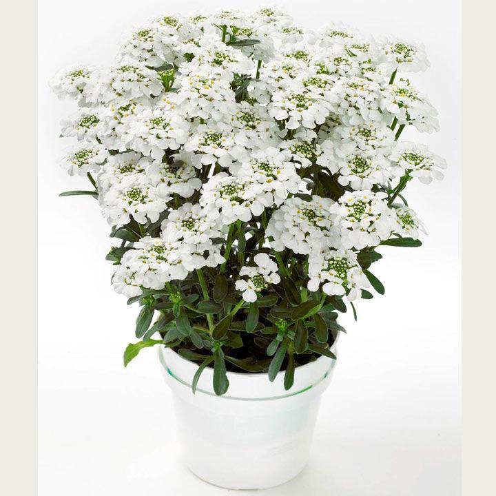 Iberis Plant - Masterpiece