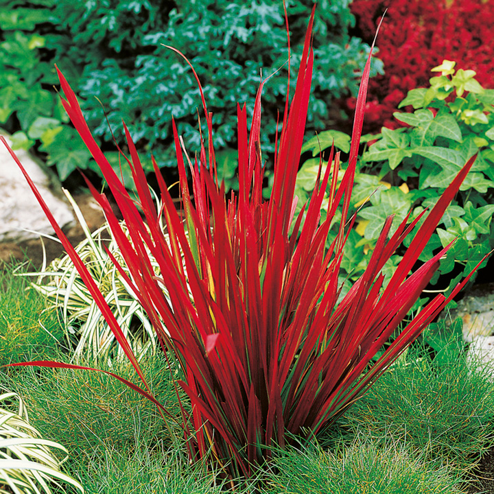Japanese blood grass plant red baron dobies for Planting plans with grasses