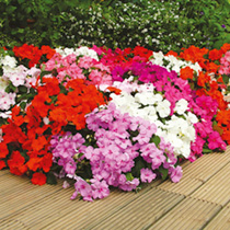 Image of Impatiens Plants - F1 Select Impoved Mix