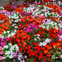 Impatiens Seeds - New Guinea Divine Mixed F1