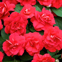 Impatiens Plants - Diadem Red